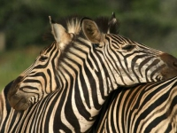 mkuze-zebras