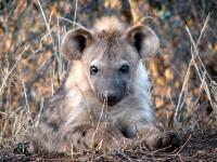 white-elephant-young-hyena