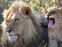 Lalibela Lion Sighting