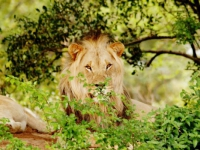 Legend Golf & Safari Resort Lion Sighting
