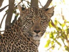 Leopard-Mountain-Safari-10