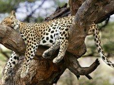 Leopard-Mountain-Safari-6