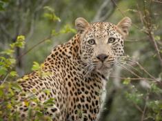 1_Londolozi-Leopard-Sighting
