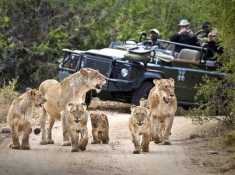 1_Londolozi-Lion-Sighting