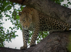 Londolozi-Leopard-Sighting-2