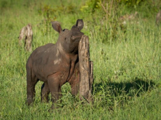 Londolozi-Rhino-Sighting