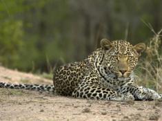 Londolozi-Leopard