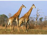 lukimbi-giraffe