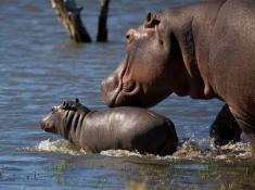 Mjejane River Lodge Hippos
