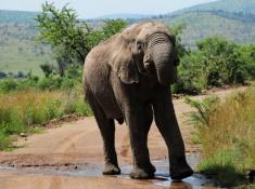 Morokolo Safari Lodge Elephant