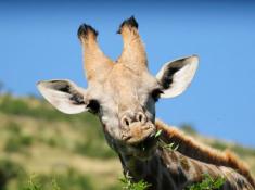 Morokolo Safari Lodge Giraffe