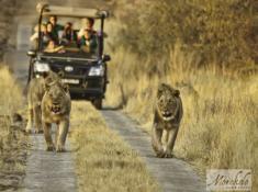 Morokolo Safari Lodge Lion Sighting