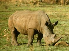 Morokolo Safari Lodge Rhino