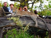 Motswari Leopard Sighting