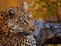 Motswari Leopard