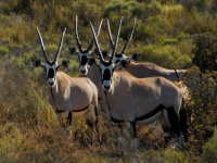 Naries Namakwa Retreat Gemsbok