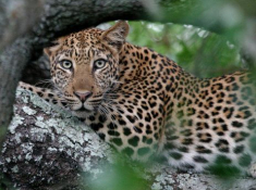 Notten's Bush Camp Leopard