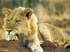 Notten's Bush Camp Lion