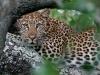 Notten's Bush Camp Leopard