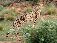 Nungubane Cheetah