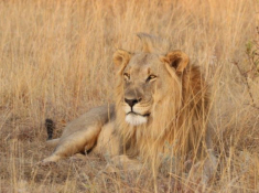 Nungubane Lion