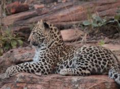 Nungubane Leopard