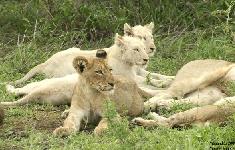 kings-camp-white-lion-pride