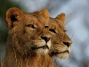leopard-hills-lionesses