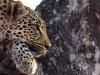 motswari-leopard-in-tree