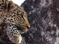 motswari-leopard