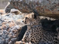 Rogge-Cloof-Cheetahs-1