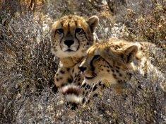 Rogge-Cloof-Cheetahs-2