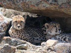 Rogge-Cloof-Cheetahs-3
