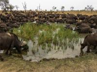 Sabi Sabi Buffalo