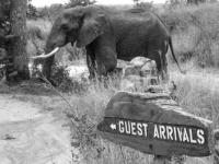 Sabi Sabi Elephant Near Lodge