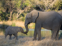 Sabi Sabi Elephant