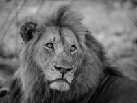 Sabi Sabi Lion