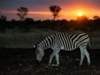 Sabi Sabi Zebra