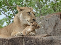 Sabi Sabi Lion and Cub