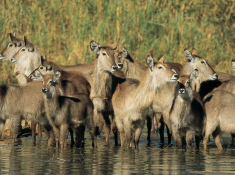 singita-waterbuck