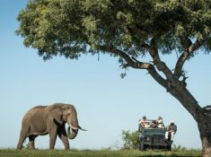 Savanna-Elephant-2