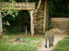 Savanna-Leopard-at-Entrance