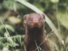 Savanna-Mongoose