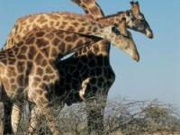 Singita Giraffes