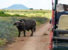 Springbok-Lodge-Buffalo-Sighting
