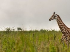 Springbok-Lodge-Giraffe-Sighting