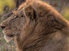 Springbok-Lodge-Lion