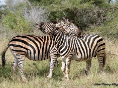 Springbok-Lodge-Zebra