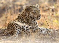 Thanda-Leopard