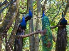 Timamoon-Peacocks